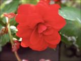 Red Begonia 2011.jpg