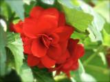 Red Begonia2-2011.jpg