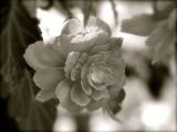 The Begonia In Black & White