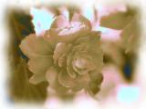 BW Begonia 2011_Painting.jpg