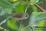 Christmas Island White-eye 1647.jpg
