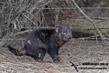Tasmanian Devil a5308.jpg
