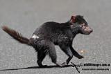 Tasmanian Devil a5451.jpg