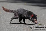 Tasmanian Devil a5467.jpg