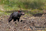 Tasmanian Devil a5476.jpg