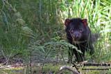 Tasmanian Devil a5488.jpg