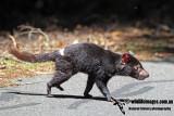 Tasmanian Devil a5493.jpg