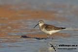 Curlew Sandpiper a4434.jpg