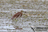 Chinese Pond Heron 1079.jpg