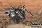 Pin-tailed Snipe a2918.jpg