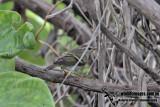 Yellow-browed Warbler 0008.jpg
