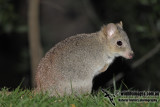 Southern Bettong
