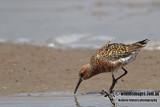 Curlew Sandpiper a2136.jpg