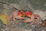 Christmas Island Red Crab a0919.jpg