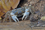 Christmas Island Blue Crab - Discoplax hirtipes