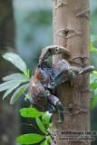 Robber (Coconut) Crab - Birgus latro