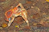Robber Crab a0932.jpg