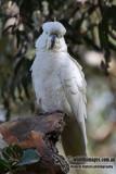 Sulphur-crested Cockatoo 7204.jpg
