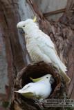Sulphur-crested Cockatoo 7415.jpg