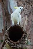 Sulphur-crested Cockatoo 7444.jpg