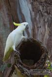 Sulphur-crested Cockatoo 7491.jpg