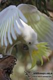 Sulphur-crested Cockatoo 7263.jpg