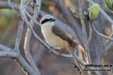 Brown Shrike 3835.jpg