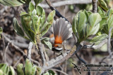 Timor Arafura Fantail 5771.jpg