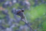 Christmas Island Flying-fox s215.jpg