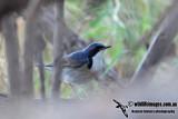 Siberian Blue Robin 2740.jpg