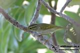Eastern Crowned Warbler 3114.jpg