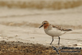 Red-necked Stint a8787.jpg