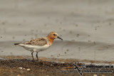 Red-necked Stint a9424.jpg