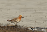 Red-necked Stint a9428.jpg