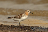 Red-necked Stint a9604.jpg
