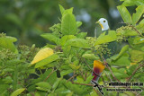 Black-naped Fruit-Dove - Ptilinopus melanospilus