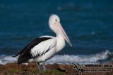 Australian Pelican kw0839.jpg