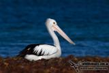 Australian Pelican kw3366.jpg