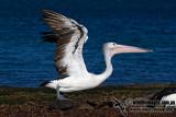 Australian Pelican kw3382.jpg