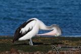 Australian Pelican kw3386.jpg