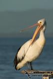 Australian Pelican kw9211.jpg