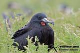 Lesser Frigatebird 1348.jpg