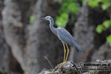 White-faced Heron 3321.jpg