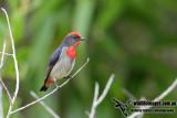Papuan Flowerpecker 7839.jpg
