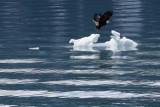 eagle on ice-Northwestern Fjord