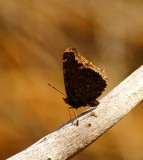 Mourning Cloak #2