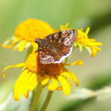 Pacuvius Duskywing