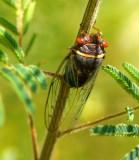 Cicada (Diceroprocta semicincta)