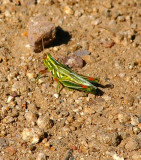 Purple Striped Grasshopper