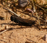 Red-winged Grasshopper